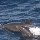 Bottlenose dolphin in the Gulf of Mexico. NOAA.