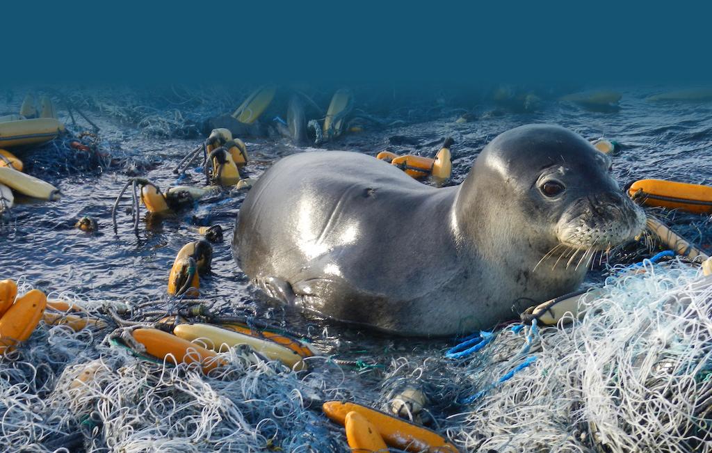 Seal caught in marine debris